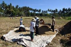 Rice farmer. Rice harves scenery, Lombok, Indonesia Royalty Free Stock Photo