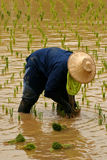 Rice Farmer 2. Women rice farmer cropping rice on field Royalty Free Stock Photos