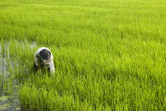 Rice Farmer. A rice farmer sowing the field in Kuala Selangor, Malaysia Stock Photography