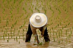 Rice Farmer. Women rice farmer cropping rice on field Stock Photos