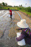 Rice Farmer Stock Photography