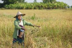 Rice farmer in field Royalty Free Stock Photos