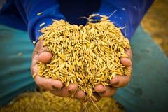 Rice in farmer hands Stock Photo