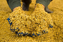 Rice in farmer hands Royalty Free Stock Photography