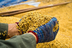 Rice in farmer hands Royalty Free Stock Image