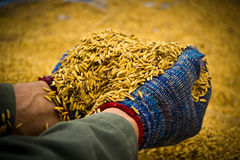 Rice in farmer hands Royalty Free Stock Images