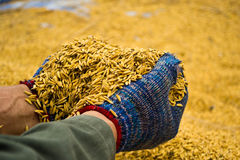 Rice in farmer hands Royalty Free Stock Photo