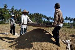 Rice farmer II. Rice farmers during harvest, Lombok, Indonesia Stock Photography