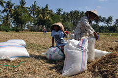 Rice farmer III. Rice farmers filling bags during harvest, Lombok, Indonesia Stock Photos