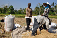 Rice farmer IV. Rice farmers filling bags during harvest, Lombok, Indonesia Stock Photo