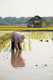 Rice farmer plant rice sprouts royalty free stock photo