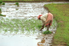 Rice Farmer. Stock Photo