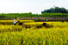 Rice farmers in china Royalty Free Stock Photography