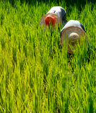 Rice Farmers in Malaysia Harvesting Countryside Concept Stock Images