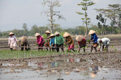 Rice. Farmers plant rice seedlings in paddy fields in Klaten, Central Java, Indonesia Stock Photo