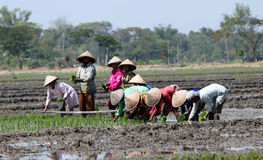 Rice. Farmers plant rice seedlings in paddy fields in Klaten, Central Java, Indonesia Royalty Free Stock Images