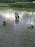 RICE FARMERS IN SONGKHLA PROVINCE, THAILAND. FARMERS ARE PLANTING RICE SEEDLINGS IN THE RICE FIELDS Royalty Free Stock Images