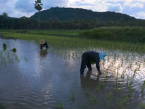 RICE FARMERS IN SONGKHLA PROVINCE, THAILAND. FARMERS ARE PLANTING RICE SEEDLINGS IN THE RICE FIELDS Royalty Free Stock Photo