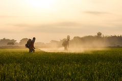 Rice farmers spraying. Stock Photo
