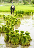 Rice farmers in Thailand Royalty Free Stock Photos