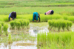 Rice farmers are withdrawing the seedlings to transplanting. Royalty Free Stock Photos