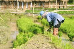 Rice farmers are withdrawing the seedlings to transplanting Stock Photo