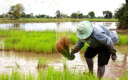 Rice farmers are withdrawing the seedlings to transplanting. Thai woman working on a paddy field Stock Image