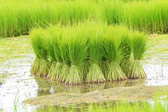 Rice farmers are withdrawing the seedlings and transplanting Royalty Free Stock Photo