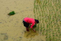 Rice farmers working on rice terrace fields in Sapa, Vietnam. Royalty Free Stock Photos
