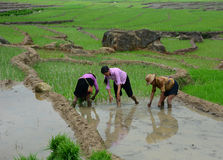 Rice farmers working on rice terrace fields in Sapa, Vietnam. Royalty Free Stock Image