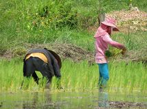 Rice farming, farming, rainy season, Royalty Free Stock Photo