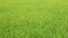 Rice Farming Field High Definition Movie Footage. Rice growing in a field being blown in the wind, high definition movie clip stock footage stock video