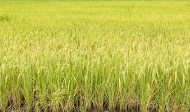 Rice Farming Stock Photo