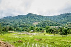 Rice farming On high ground in Thailand 1 Royalty Free Stock Photos