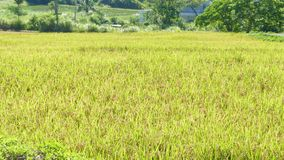 Rice in the farming with nice background color stock video
