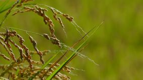 Rice in the farming with nice background color stock video footage