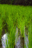 Rice farming plantation agriculture Royalty Free Stock Photography