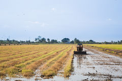 Rice farming. In rural  thailand Royalty Free Stock Image