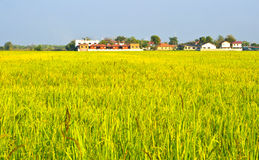 Rice farms in  community. Royalty Free Stock Photography