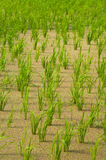 Rice farms Royalty Free Stock Photos