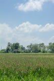 Rice feild on blue sky Royalty Free Stock Photos