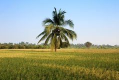 Rice feild ready for havest Stock Image
