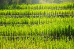 The rice feld landscape. In Thailand background, green, grass Royalty Free Stock Images