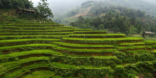 Rice Feld in terrace. View of rice field in terrace,asia Stock Images