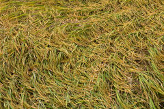 Rice fell overlap in the field. Stock Photography