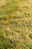 Rice fell overlap in the field. Royalty Free Stock Image
