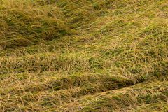 Rice fell overlap in the field. Royalty Free Stock Images