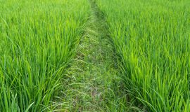 Rice fied Stock Photo