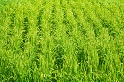Rice field. Green rice field in Japan Stock Photography