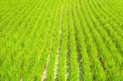 Rice field. Green rice field in Japan Royalty Free Stock Photos